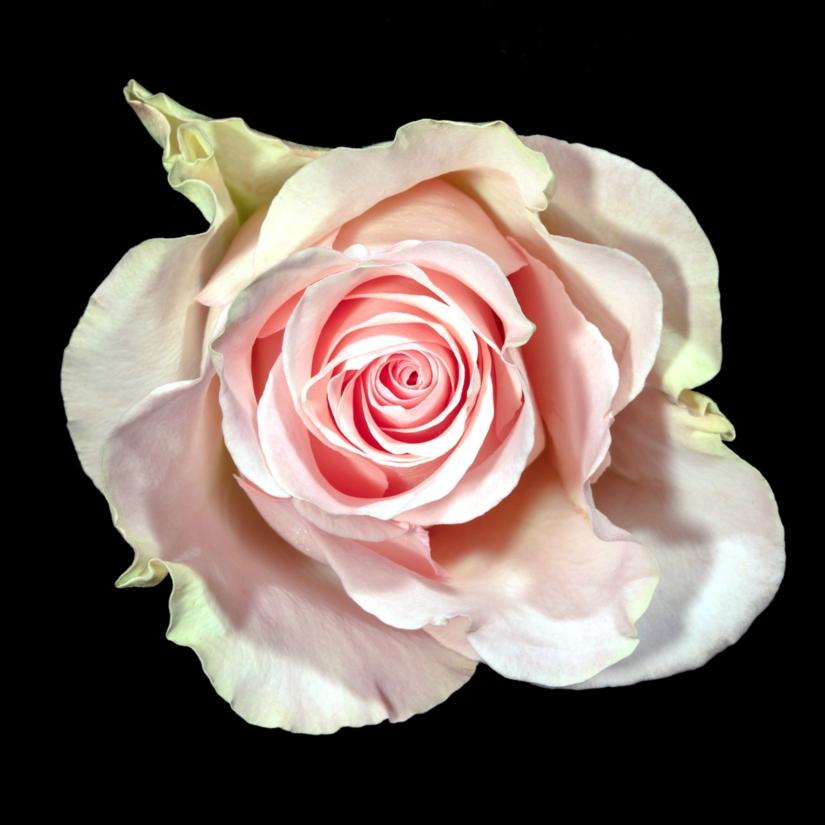 Beauté: bienfaits de la rose pour la peau